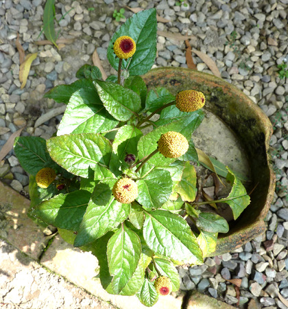 globose: Acmella oleracea, Toothache plant, Paracress, also known as Spilanthes oleracea, annual herb with slightly wavy leaves and golden globose flowerhead with reddish brown centre, used in medicine