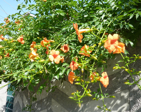 calyx: Campsis  tagliabuana �Madame Galen�, sterile Hybrid trumpet creeper, deciduous woody vine with 7-13 leaflets, glabrous beneath, orange-scarlet trumpet shaped flowers with long pointed calyx lobes and not producing any pods.