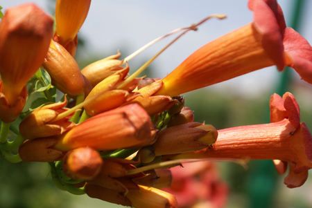 beneath: Campsis radicans, Trumpet vine, Cow itch vine, deciduous woody vine with pinnate leaves, 9-11 leaflets, hairy beneath along veins and orange to scarlet trumpet shaped flowers, pods beaked Stock Photo