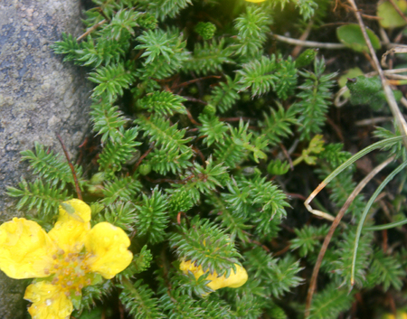 leaflets: Potentilla microphylla, Tiny leaves Cinquefoil, perennial cushion forming perennial herb with pinnate compound leaves with tiny leaflets and yellow about 15 mm across flowers.