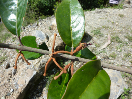 leathery: Taxillus vestitus, Rusty mistletoe, parasitic angiosperm on Oak species with opposite, leathery tomentose leaves, flowers in small clusters on leafless nodes with rusty brown corolla tube and reflexed lobes. Stock Photo