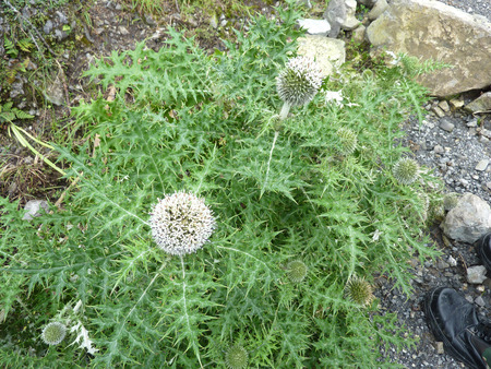 globose: Echinops niveus, Snow-white Globe thistle, perennial herb with densely cottony spiny leaves and globose white flower heads. Stock Photo
