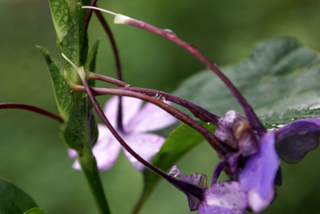 Eranthemum purpurascens, Purple Eranthemum, shrub with large sticky bracts and purple flowers with long tube