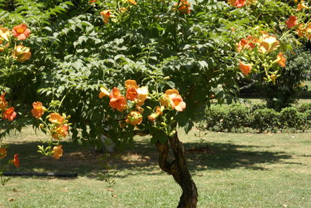 leaflets: Campsis tagliabuana Madame Galen, sterile Hybrid trumpet creeper, deciduous woody vine with 7-13 leaflets, glabrous beneath, orange-scarlet trumpet shaped flowers with long pointed calyx lobes and not producing any pods.