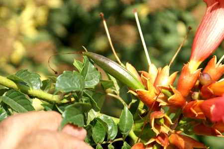 leaflets: Campsis radicans, Trumpet vine, Cow itch vine, deciduous woody vine with pinnate leaves, 9-11 leaflets, hairy beneath along veins and orange to scarlet trumpet shaped flowers, pods beaked Stock Photo