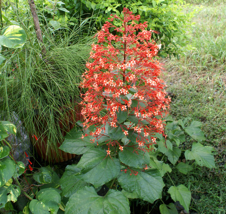 lobed: Clerodendrum paniculatum, Pagoda flower, shrub with large glossy lobed leaves and small orange red flowers in up to 45 cm long thyrsoid inflorescence
