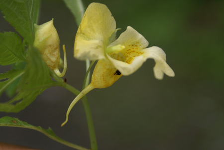 serrate: Impatiens scabrida, Rugged Himalayan Balsam, Rindliya, often named Himalayan Jewel Orchid, is herbaceous plant with green serrate leaves and yellow flowers with red spots and small curved spur.