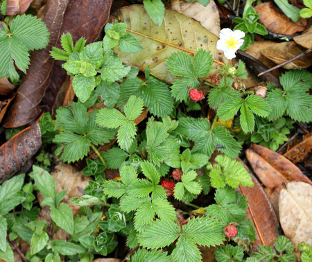fragaria: Fragaria nubicola, Indian Strawberry, Himalayan Strawberry, wild creeping perennial with trifoliate leaves, white flowers and red fruits with appressed calyx, edible but not very delicious.