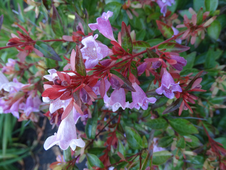 Abelia grandiflora Edward Goucher, ornamental shrub with arching branches, glossy leaves and lavender-pink funnel-shaped flowers with orange yellow throat