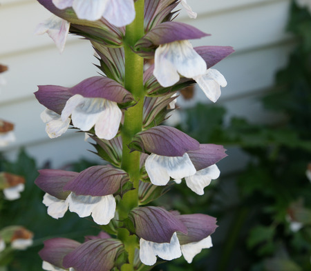 lobed: Acanthus, mollis, Bears breeches, tall perennial herb with shining green lobed basal lobes and white flowers in terminal spikes with large purplish green bracts.