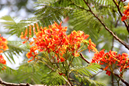 flamboyant: Delonix regia, Royal Poinciana, Flamboyant, large deciduous tree with bipinnate leaves with small leaflets and orange red flowers in large panicles, pod flattened