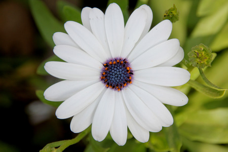 Dimorphotheca pluvialis, Ox-eye daisy, Cape daisy, cultivated annual herb with narrow toothed or pinnately lobed leaves and white flower heads with small purple disc Stock Photo