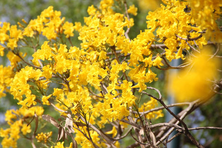 leaflets: Tabebuia aurea, Caribbean trumpet tree, Tree of Gold, small deciduous tree with palmately compound leaves with 5 to 7 leaflets and golden yellow flowers in loose panicle, and about 10 cm long capsule fruit.