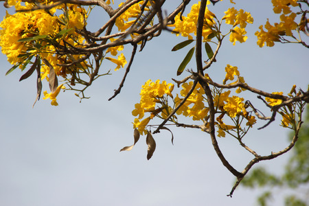 loose leaf: Tabebuia aurea, Caribbean trumpet tree, Tree of Gold, small deciduous tree with palmately compound leaves with 5 to 7 leaflets and golden yellow flowers in loose panicle, and about 10 cm long capsule fruit.