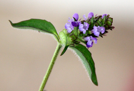 lance shaped: Prunella vulgaris, Common self-heal, Heal all, perennial creeping herb with opposite lance shaped leaves and purple flowers in terminal club-like inflorescence, pot herb and folk medicine plant