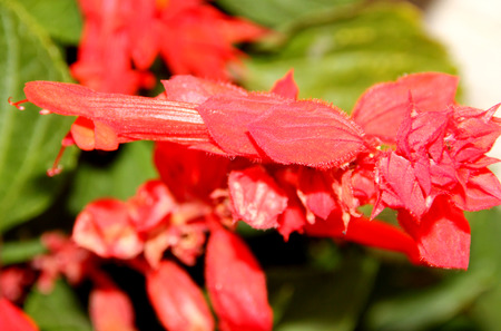 Salvia splendens, Scarlet sage, Tropical Sage, ornamental annual herb with opposite ovate leaves and scarlet tubular flowers in terminal clusters, calyx same color often inflated