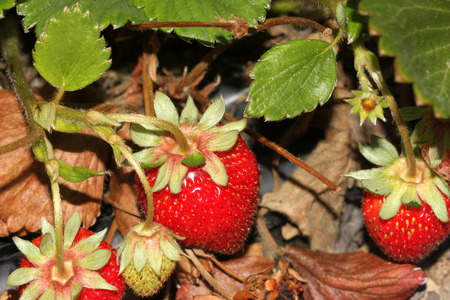 Fragaria x ananassa, Garden strawberry, perennial spreading by runners, with trifoliate leaves, white flowers and red fruits with numerous seeds.