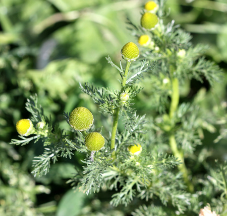 the greenish: Matricaria discoidea, pineapple weed, Wild chamomile, annual herb with finely dissected leaves and greenish yellow flowerheads, used in salads, herbal tea and medicine Stock Photo