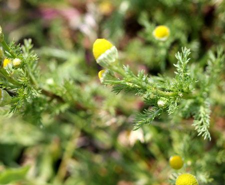 matricaria: Matricaria discoidea, pineapple weed, Wild chamomile, annual herb with finely dissected leaves and greenish yellow flowerheads, used in salads, herbal tea and medicine Stock Photo