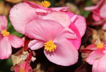 thick: Begonia semperflorens, Begonia, herbaceous perennial with thick nearly rounded leaves and flowers in various colors