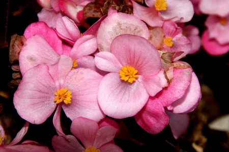 rounded: Begonia semperflorens, Begonia, herbaceous perennial with thick nearly rounded leaves and flowers in various colors