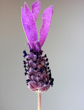 bracts large: Lavandula stoechas, French lavender, Spanish lavender, evergreen shrub with linear tomentose leaves and pink to purple flowers in terminal spikes, each topped by few large purple sterile bracts