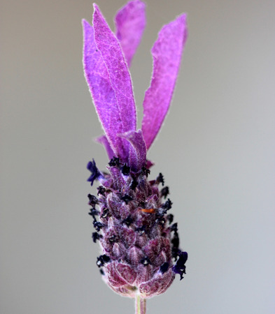 Lavandula stoechas, French lavender, Spanish lavender, evergreen shrub with linear tomentose leaves and pink to purple flowers in terminal spikes, each topped by few large purple sterile bracts