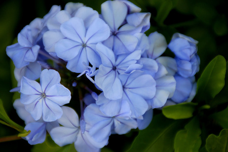 auriculata: Plumbago auriculata, Blue Plumbago, Cape leadwort, evergreen shrub often climbing with glossy green leaves and blue flowers in clusters