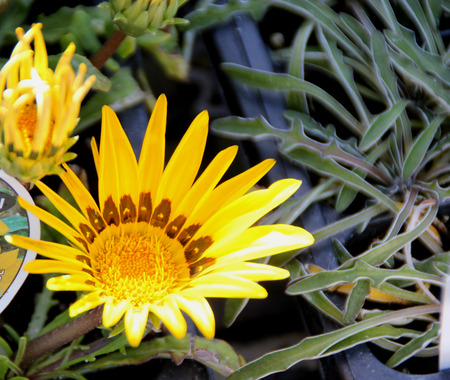 Gazania rigens Daybreak Yellow, Perennial ornamental herb with basal rosette of silvery leaves and terminal heads with orange yellow rays with dark brown base with yellow spot