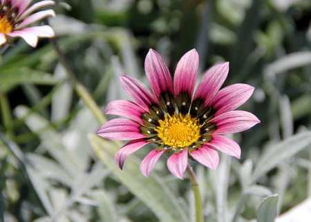silvery: Gazania rigens Purple, dwarf cultivar with silvery leaves and purple heads, rays with black base and white spot, purple in upper part