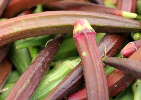 Abelmoschus esculentus, Red Okra, vegetable crop with red colored mucilaginous fruits, popular as fried and cooked vegetable
