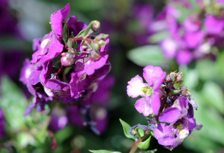 lanceolate: Angelonia angustifolia Serenita Purple, garden cultivar with linear lanceolate leaves and purple orchid like flowers, a hardy plant