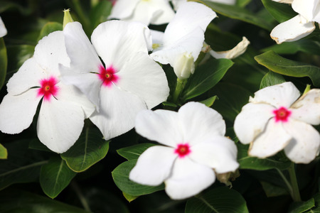 tubular flowers: Catharanthus roseus White, White Madagascar periwinkle, evergreen subshrub with glossy green opposite leaves and white flowers with red center, long tubular corolla and spreading corolla lobes