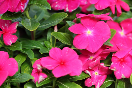 tubular flowers: Catharanthus roseus Magenta, Madagascar periwinkle, evergreen subshrub with glossy green opposite leaes and magenta flowers with white center, long tubular corolla and spreading corolla lobes Stock Photo
