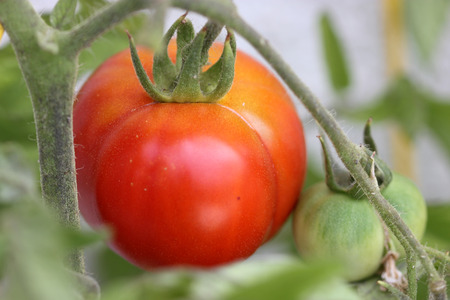 pinnately: Solanum lycopersicum, tomato, cultivated vegetable crop with pinnately lobed leaves, white flowers and berry fruits ripening orange to red, used in vegetable, soups and squashes Stock Photo