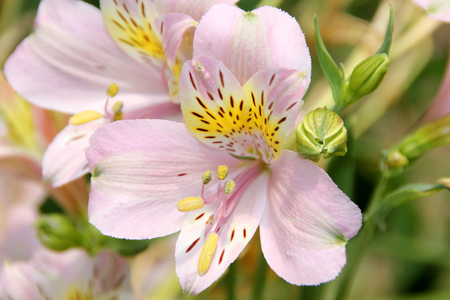brocken: Alstroemeria hybrida, Peruvian Lily, bulbous ornamental herb with often twisted leaves and flowers in many colors often with patches of other colors and brocken darker stripes