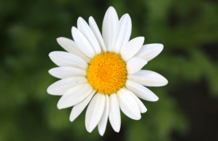 Leucanthemum paludosum, Mini Margueritte, Baby Marguerite, White Buttons, Snow Daisy, Creeping Daisy, perennial herb with shallowly lobed leaves and white flower heads with yellow disc.