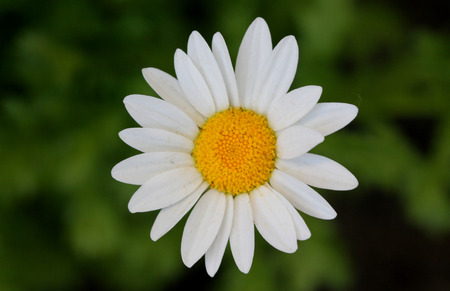 leucanthemum: Leucanthemum paludosum, Mini Margueritte, Baby Marguerite, White Buttons, Snow Daisy, Creeping Daisy, perennial herb with shallowly lobed leaves and white flower heads with yellow disc.