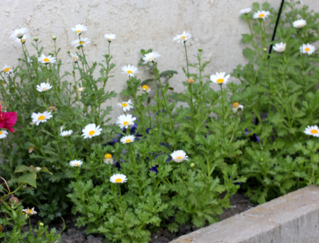 lobed: Leucanthemum paludosum, Mini Margueritte, Baby Marguerite, White Buttons, Snow Daisy, Creeping Daisy, perennial herb with shallowly lobed leaves and white flower heads with yellow disc.