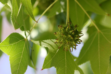 usually: Liquidambar styraciflua, American sweetgum, deciduous tree with usually 5-lobed leaves with pointed tips turning orange to red in autumn, female heads sycamore like on long stalks.
