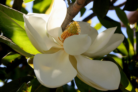 beneath: Magnolia grandiflora, Southern Magnolia Bull bay, graceful evergreen tree with leathery leaves, rusty beneath and large fragrant white flowers Stock Photo
