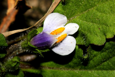 rooting: Mazus surculosus, creeping perennial herb with rooting runners, obovate leaves and white flowers with purple lower lip and two yellow patches on upper lip
