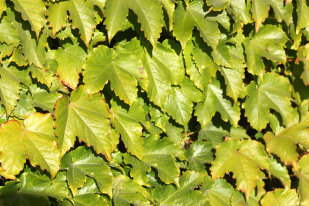 tendrils: Parthenocissus tricuspidata, Japanese creeper, Grape ivy, Japanese ivy, woody creeper with 3-lobed leaves, climbing and sticking on walls and trees by branched tendrils tipped with sticky discs and small greenish yellow flowers in clusters.