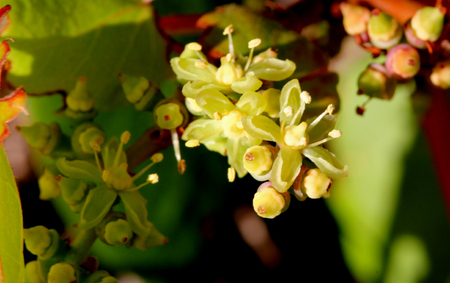 branched: Parthenocissus tricuspidata, Japanese creeper, Grape ivy, Japanese ivy, woody creeper with 3-lobed leaves, climbing and sticking on walls and trees by branched tendrils tipped with sticky discs and small greenish yellow flowers in clusters.