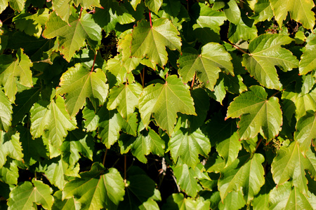 Parthenocissus tricuspidata, Japanese creeper, Grape ivy, Japanese ivy, woody creeper with 3-lobed leaves, climbing and sticking on walls and trees by branched tendrils tipped with sticky discs and small greenish yellow flowers in clusters.