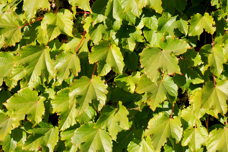 the greenish: Parthenocissus tricuspidata, Japanese creeper, Grape ivy, Japanese ivy, woody creeper with 3-lobed leaves, climbing and sticking on walls and trees by branched tendrils tipped with sticky discs and small greenish yellow flowers in clusters.