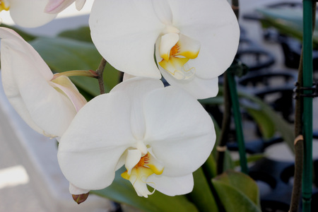 aphrodite: Phalaenopsis Aphrodite orchid, popular ornamental orchid with several long lasting white flowers on long stalk with darkly marked yellow lip with whiskers