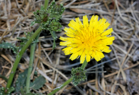 stiff: Helminthotheca echioides, bristly oxtongue, stiff herb with stems and leaves covered with broad based bristles and yellow rayed flower heads surrounded by 3-5 stiff involucre bracts
