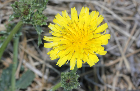 bracts: Helminthotheca echioides, bristly oxtongue, stiff herb with stems and leaves covered with broad based bristles and yellow rayed flower heads surrounded by 3-5 stiff involucre bracts