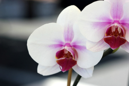 yellowish: Phalaenopsis orchid white with red lip, popular ornamental orchid with several white flowers on long stalk with red lip marked with yellowish spots